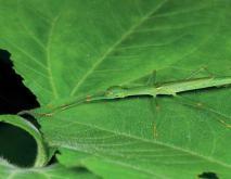 竹节虫种类及图片大全