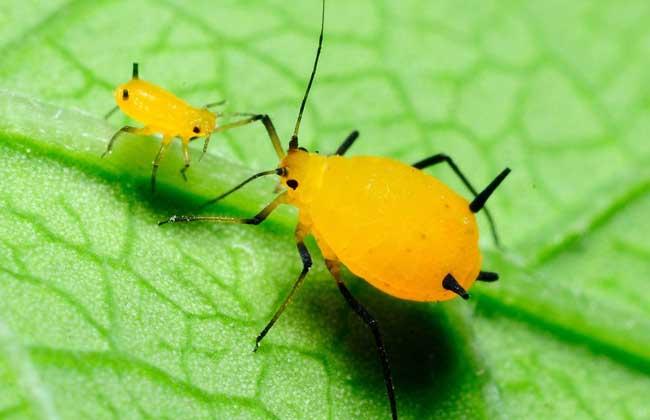 蚜虫的危害
