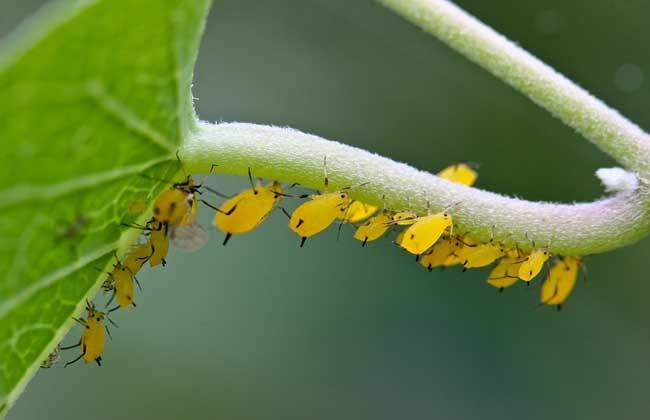 蚜虫的危害及防治