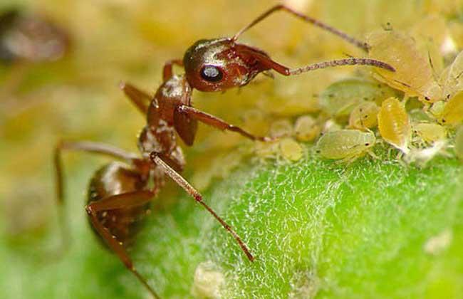 蚂蚁与蚜虫的关系