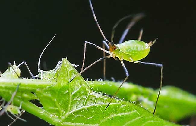蚜虫的生物防治方法