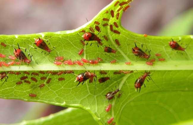 蚜虫生物防治