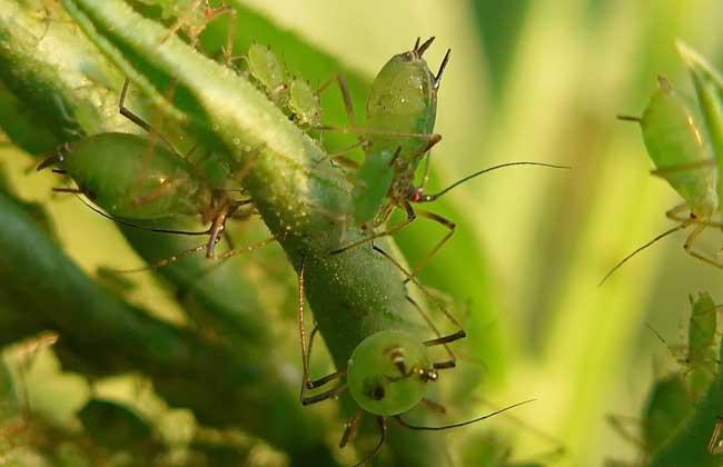 蚜虫怎么治