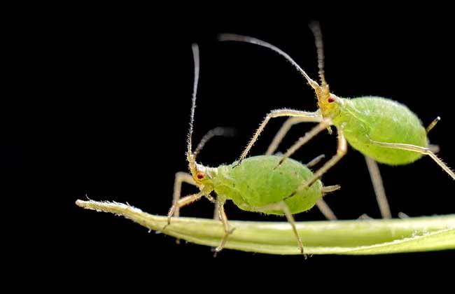 蚜虫种类及图片大全