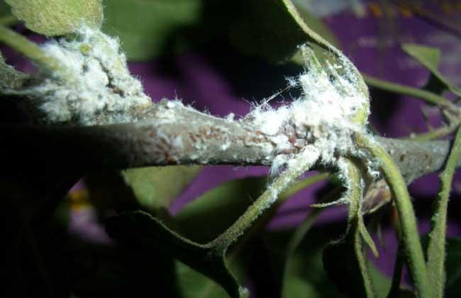 菊小长管蚜