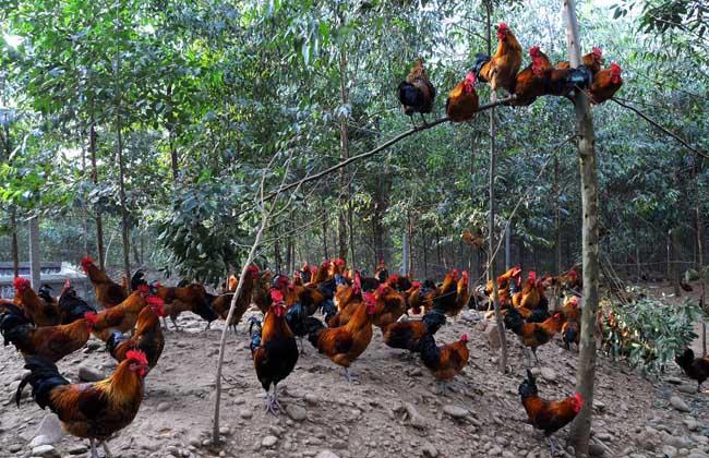 养鸡补贴政策