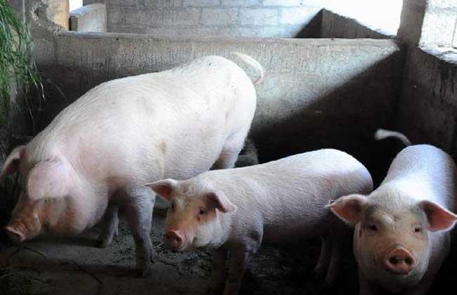 养猪补贴政策