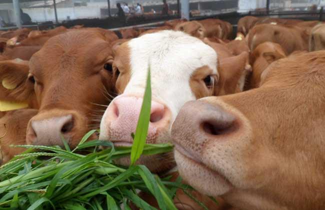 2018年养牛的前景如何?