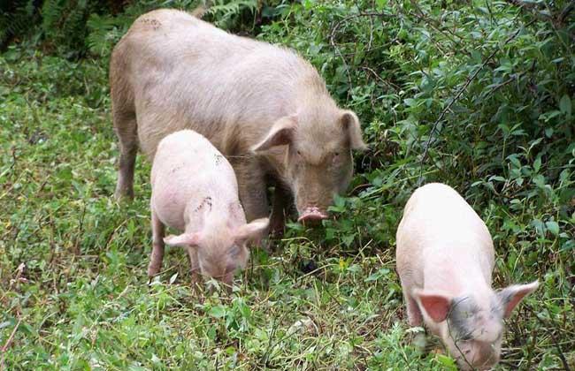 2017年养猪的前景如何?