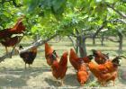 2017年养鸡国家补贴政策