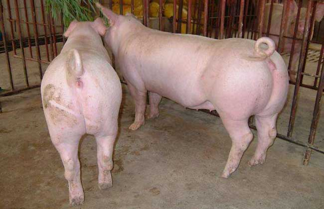 养殖30头母猪利润与成本
