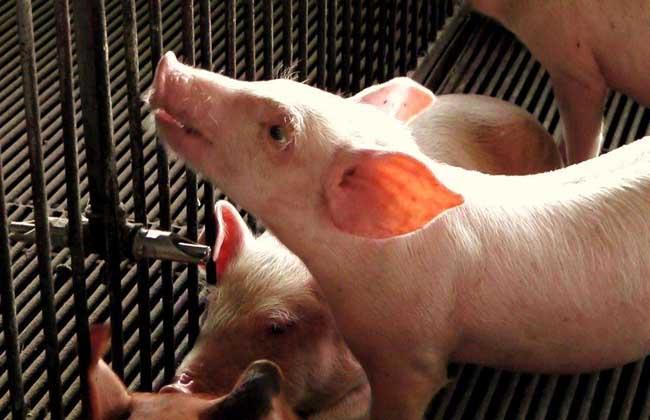 农村养猪30头赚多少钱