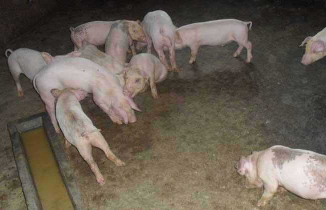 猪高热病的治疗