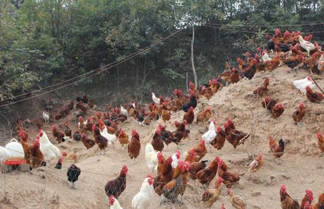 投资一个养鸡场要多少钱
