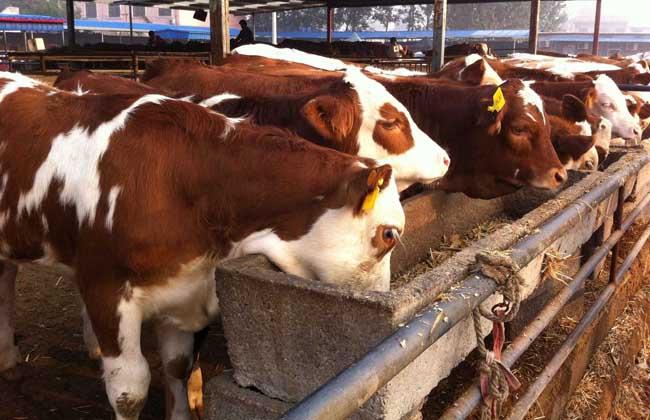 一个人可以养多少牛