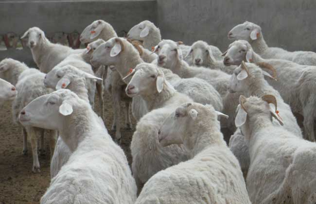 养羊为什么不赚钱