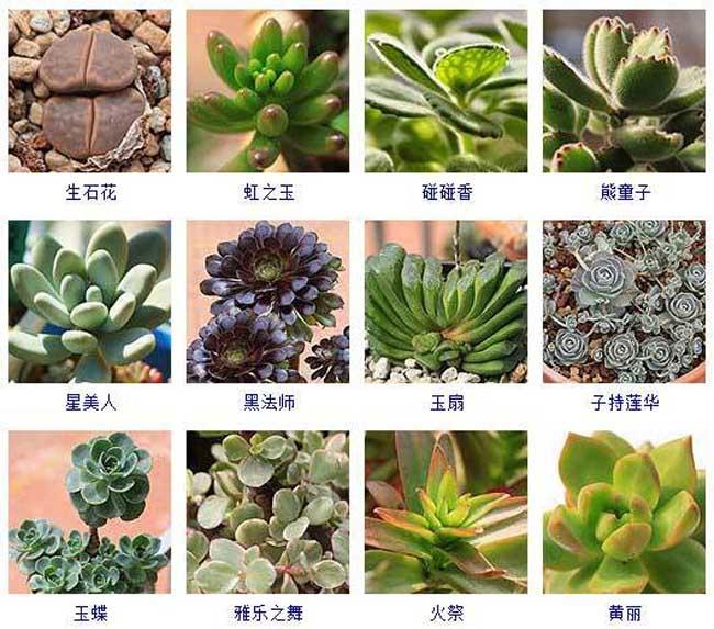 多肉植物品种