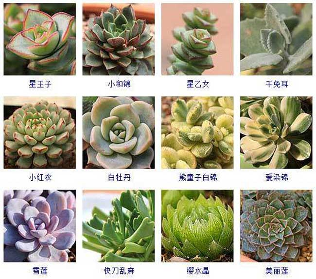 多肉植物品种及图片