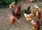 2017年养鸡赚钱吗?