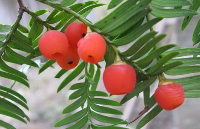 红豆杉叶子黄了怎么办?
