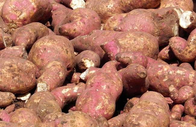 红薯什么时候进入中国