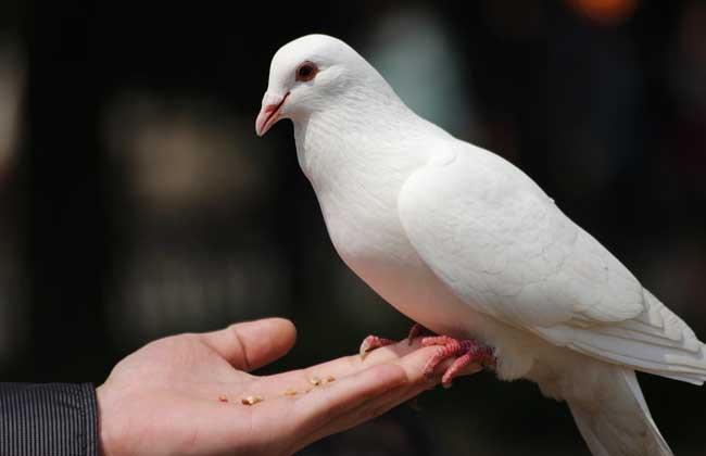 鸽子怎么养才不会飞走?