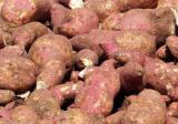 红薯什么时候进入中国?