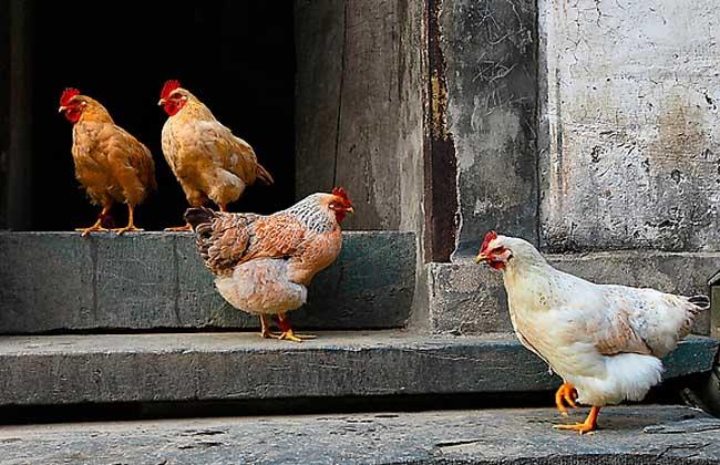 家禽种类图片