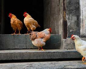 家禽种类及图片大全