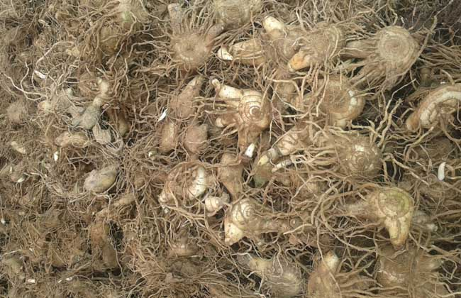 白芨种子多少钱一斤