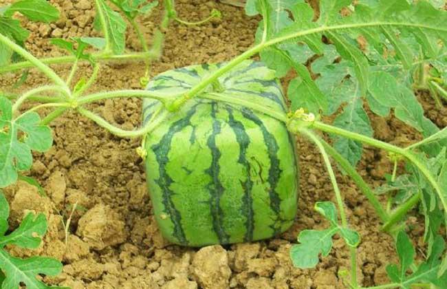 方形西瓜多少钱一斤