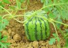 方形西瓜多少钱一斤?