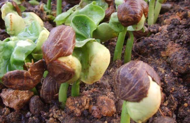 发财树种子多少钱一斤