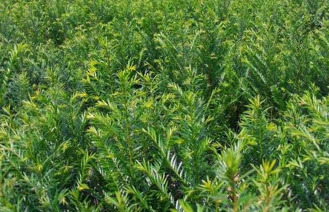 红豆杉苗多少钱一棵