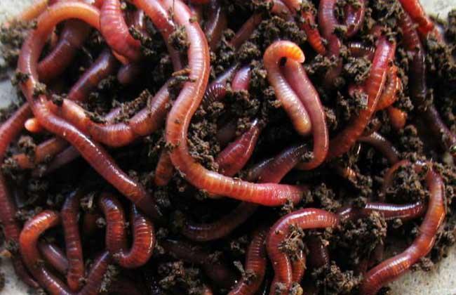 红蚯蚓的养殖方法