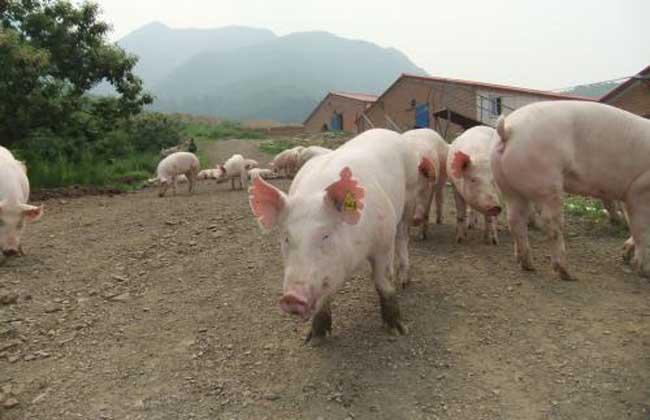 后备母猪不发情怎么办