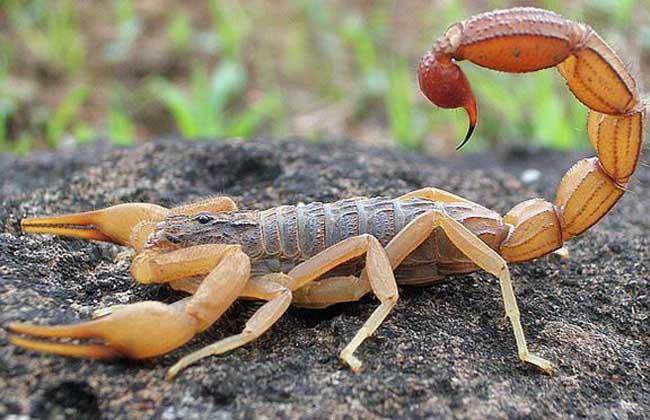 家里有蝎子怎么办