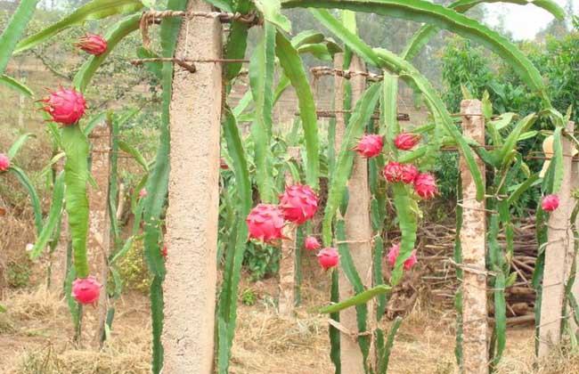 火龙果什么时候种植