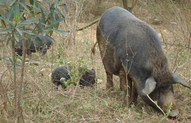 野猪是保护动物吗?