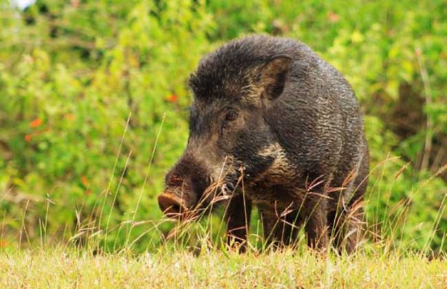 野猪是保护动物吗