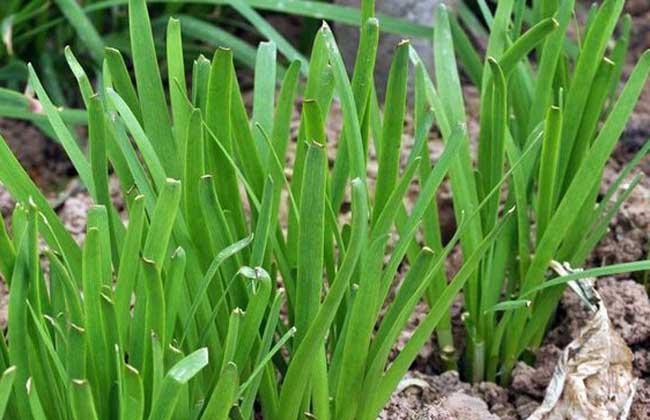 韭菜种植最简单方法