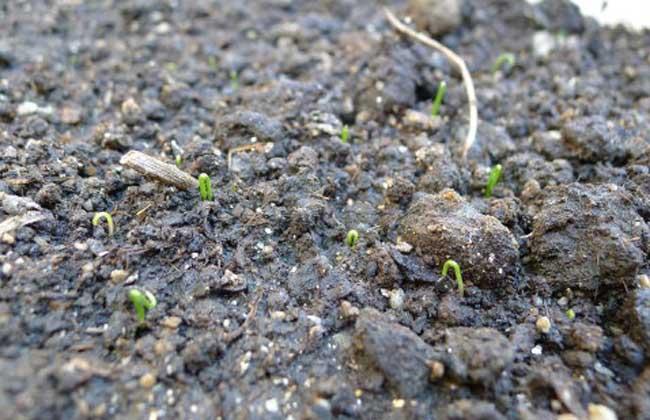 韭菜种子几天发芽