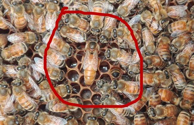 没有蜂王怎么养好蜜蜂?