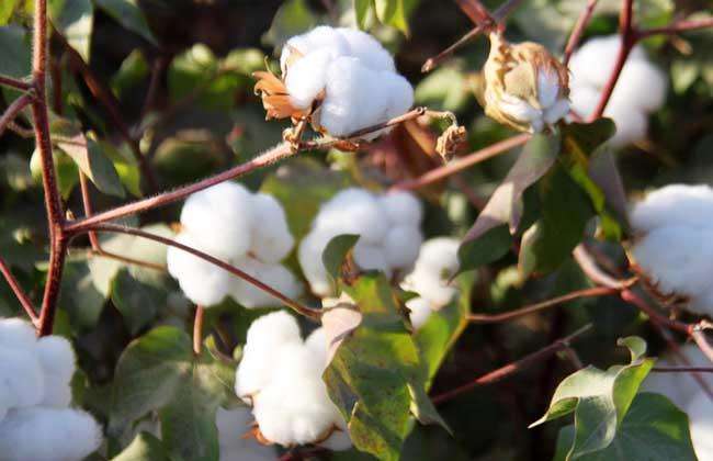 棉花什么时候进入中国