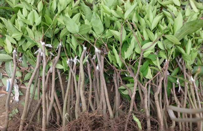 芒果树苗多少钱一棵