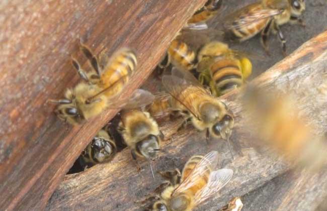 蜜蜂什么时候繁殖快?