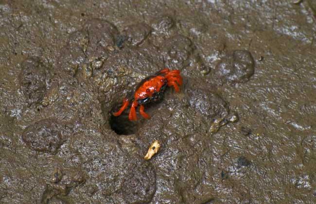 螃蟹为什么横着走