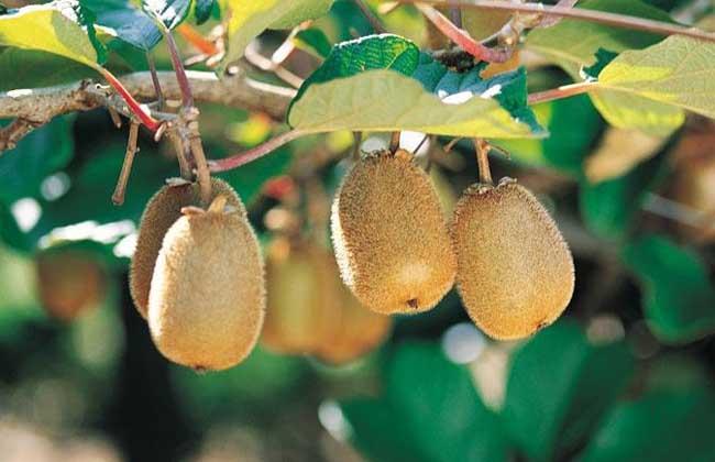 猕猴桃什么时候成熟