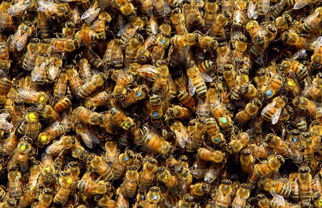 蜜蜂为什么不会迷路