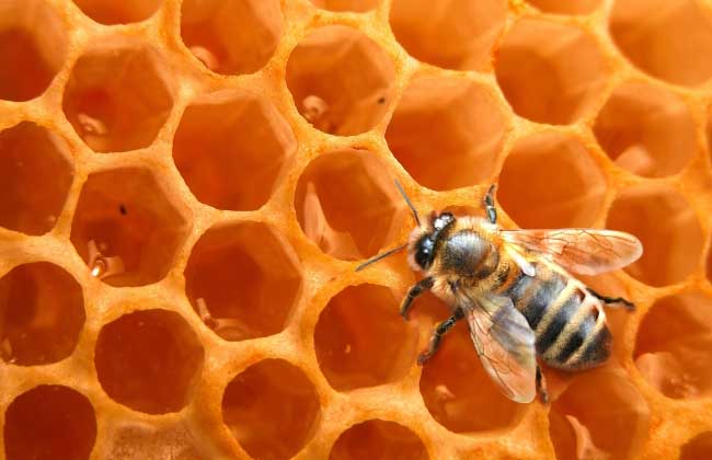 蜜蜂怎么养繁殖才快?